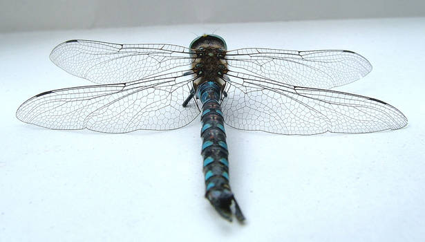 dragonfly angle 2