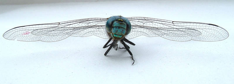 dragonfly angle 3