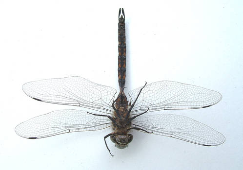 dragonfly angle 4