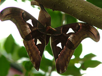 atlas moth II