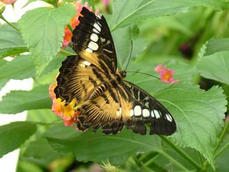 butterfly I