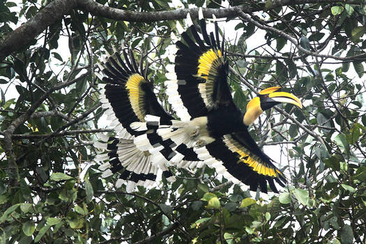 Great Indian Hornbills in flight