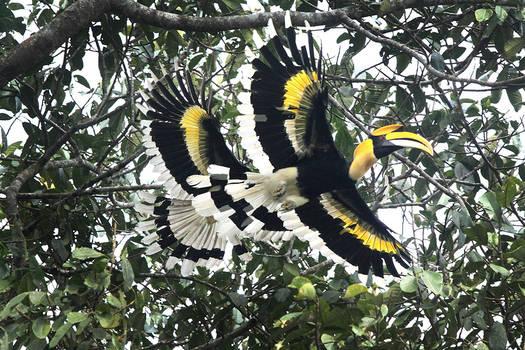 Great Indian Hornbills in flight
