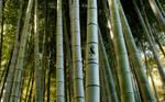Gaia10 Bamboo Wallpaper