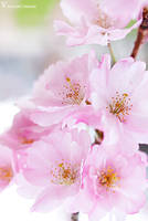 Sakura waltz