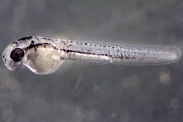 Zebrafish II by suricata5