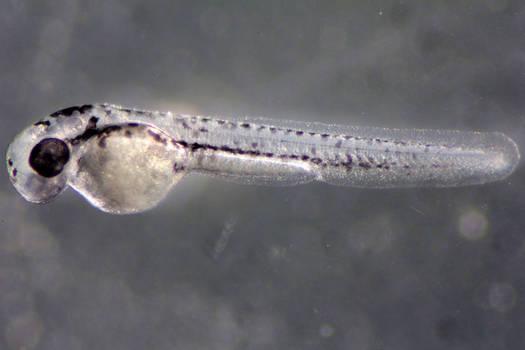 Zebrafish II