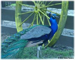 Blue Peacock by suricata5