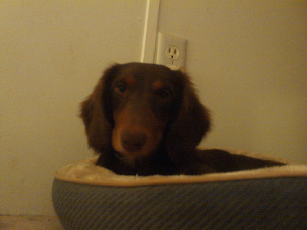 dachshund baby by ICE46