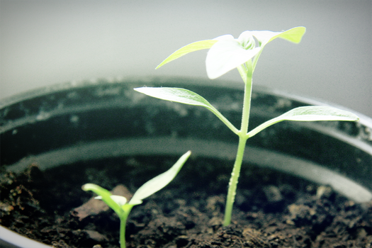 Plantling