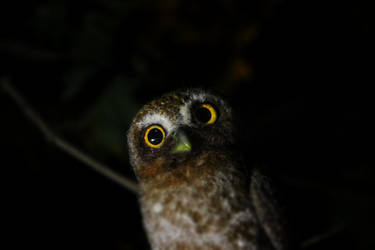 Elf owl 3 by Sillykoshka