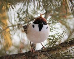 Tree sparrow 4 by Sillykoshka