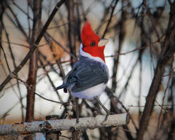 Red-crested cardinal 3 by Sillykoshka