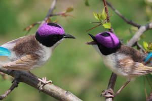Purple crowned wrens (males) 1 by Sillykoshka