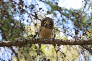 Small owl 1 by Sillykoshka