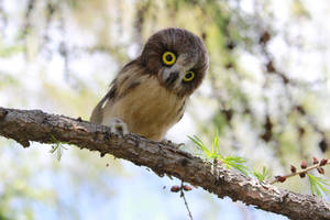 Small owl 2 by Sillykoshka