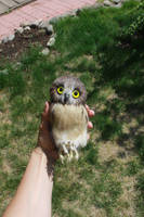 Small owl 3 by Sillykoshka