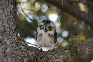 Tiny owlet 1 by Sillykoshka