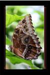 Butterfly 35