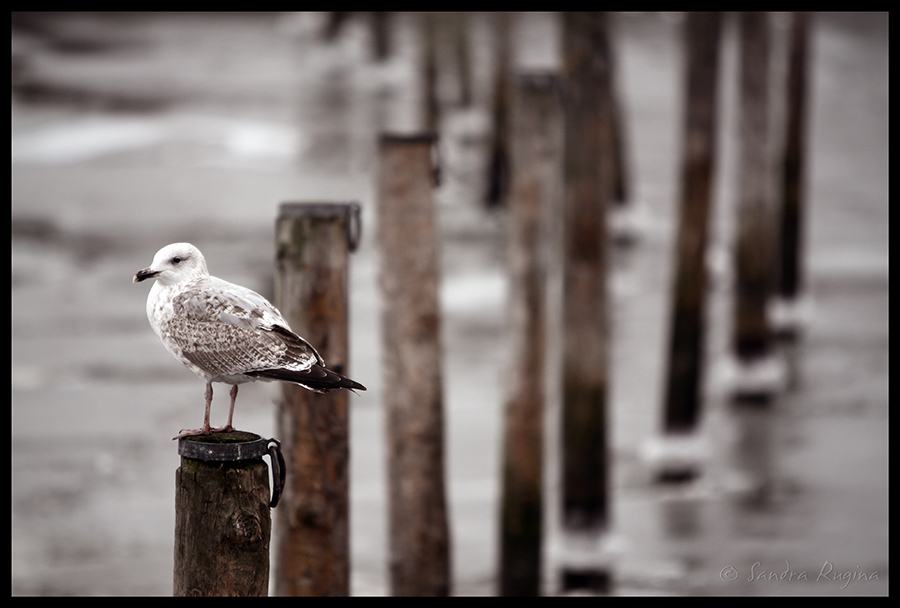 Seagull by Behindmyblueeyes