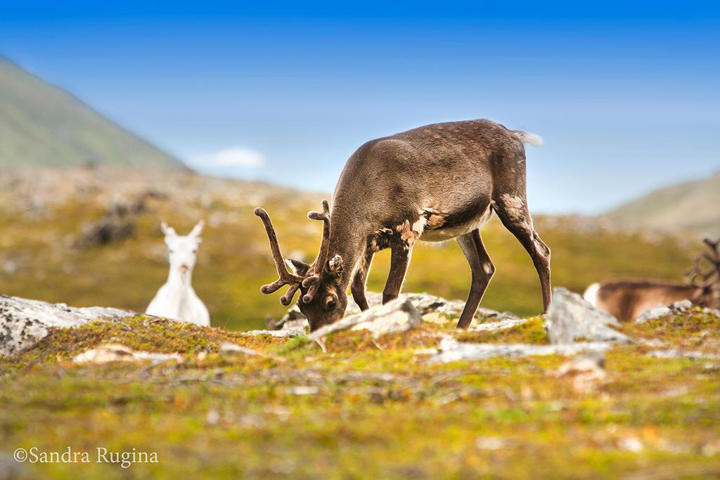 Reindeer by Behindmyblueeyes