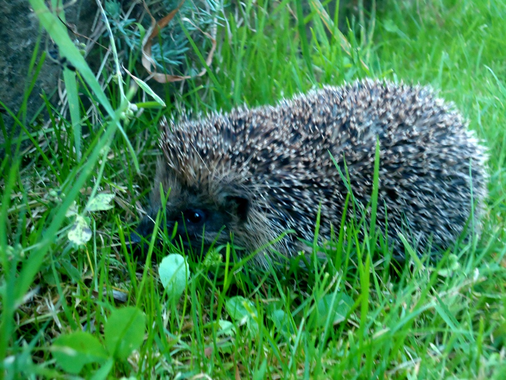 Visiting hedgehog by WendyMitchell