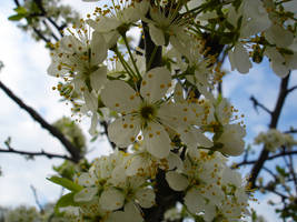 cherry flowers by thegreeneye