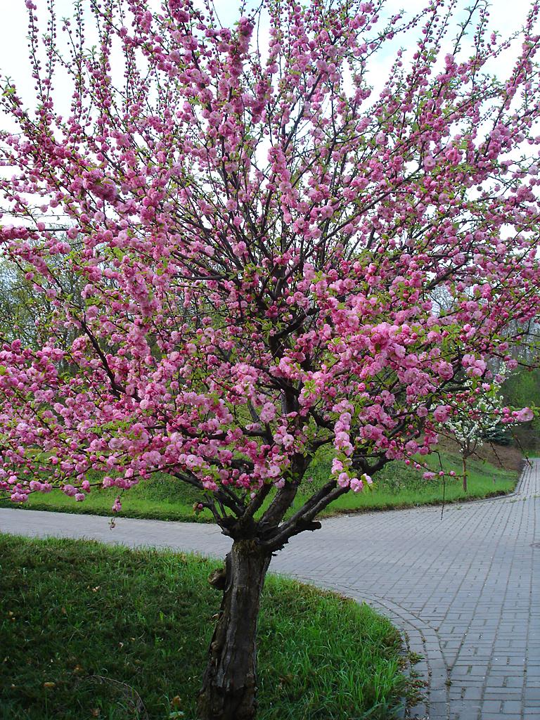 Small Pink Tree By Thegreeneye On Deviantart