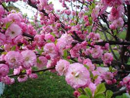pink small roses on bush by thegreeneye