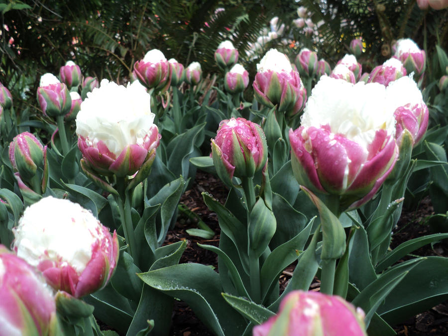 ice cream tulips by itsbeautifulmassacre on deviantart. Black Bedroom Furniture Sets. Home Design Ideas