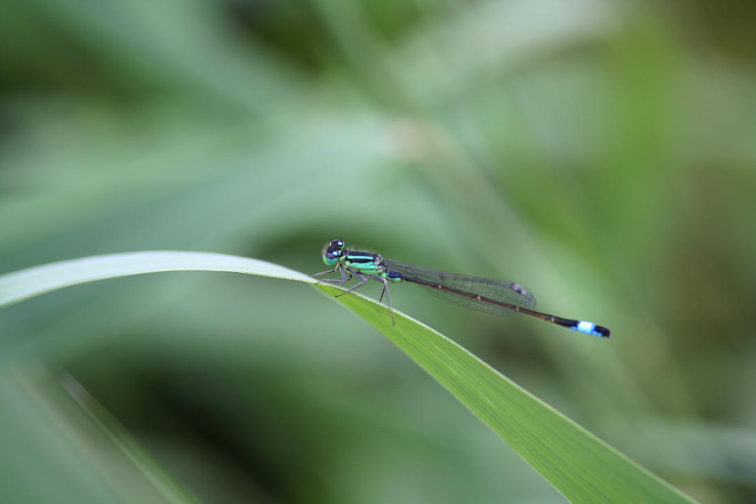 Damselfly resting by Toefje-Kunst