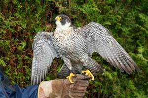 Falcon again