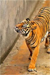 Tigris Of Stripes