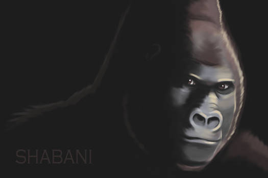 Shabani the Handsome Gorilla