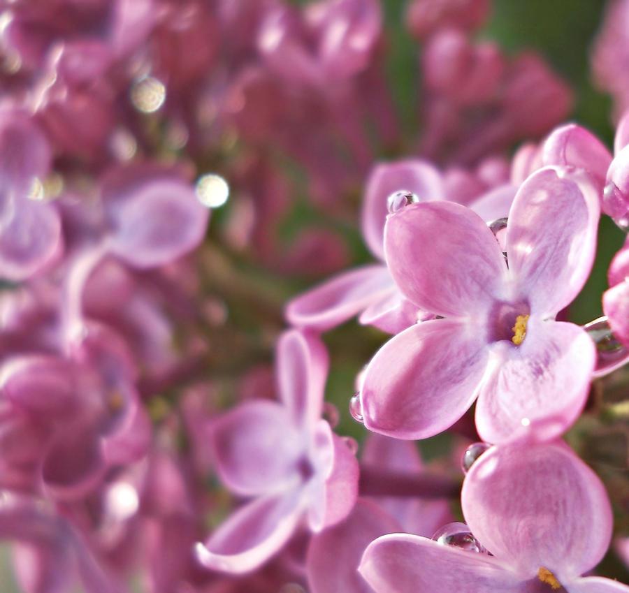 Lilac Dreams by BlueAnomiS
