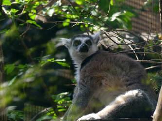 Lemur catta 2 by Yamraj88