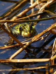 Frog by Yamraj88