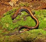 Red Back Salamander 3