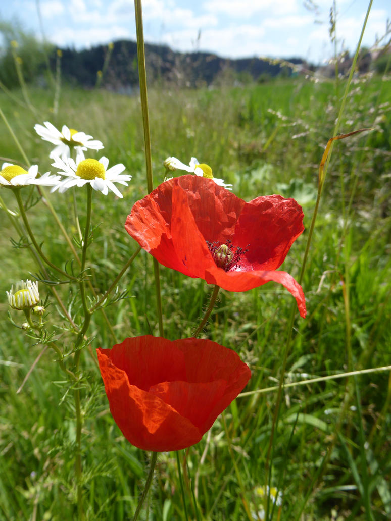 poppies in the sun by tegenaria