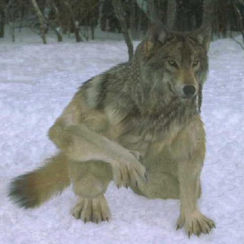 Anthro Wolf By Ak Wolf On Deviantart