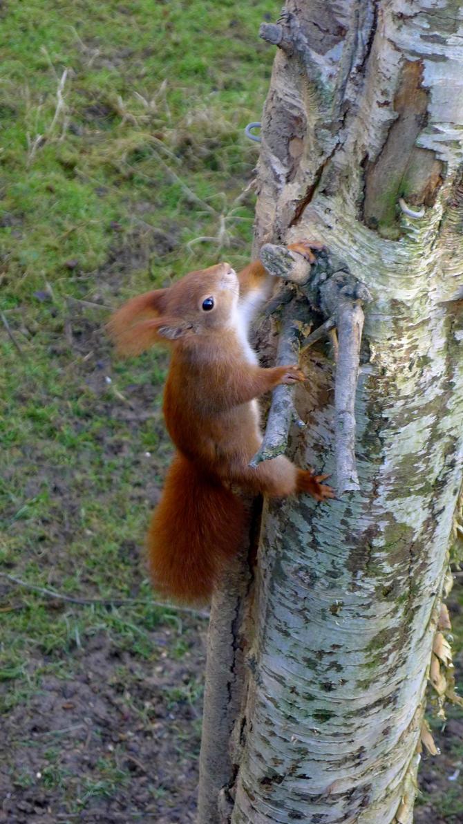 Red Squirrel by adamprinceofcats