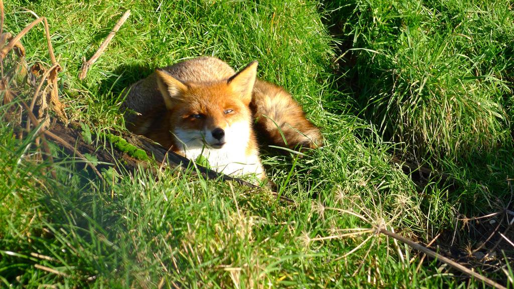 Red Fox (vixen) by adamprinceofcats