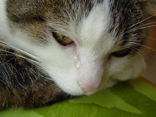 pug nose cat