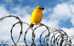 Canary On A Wire