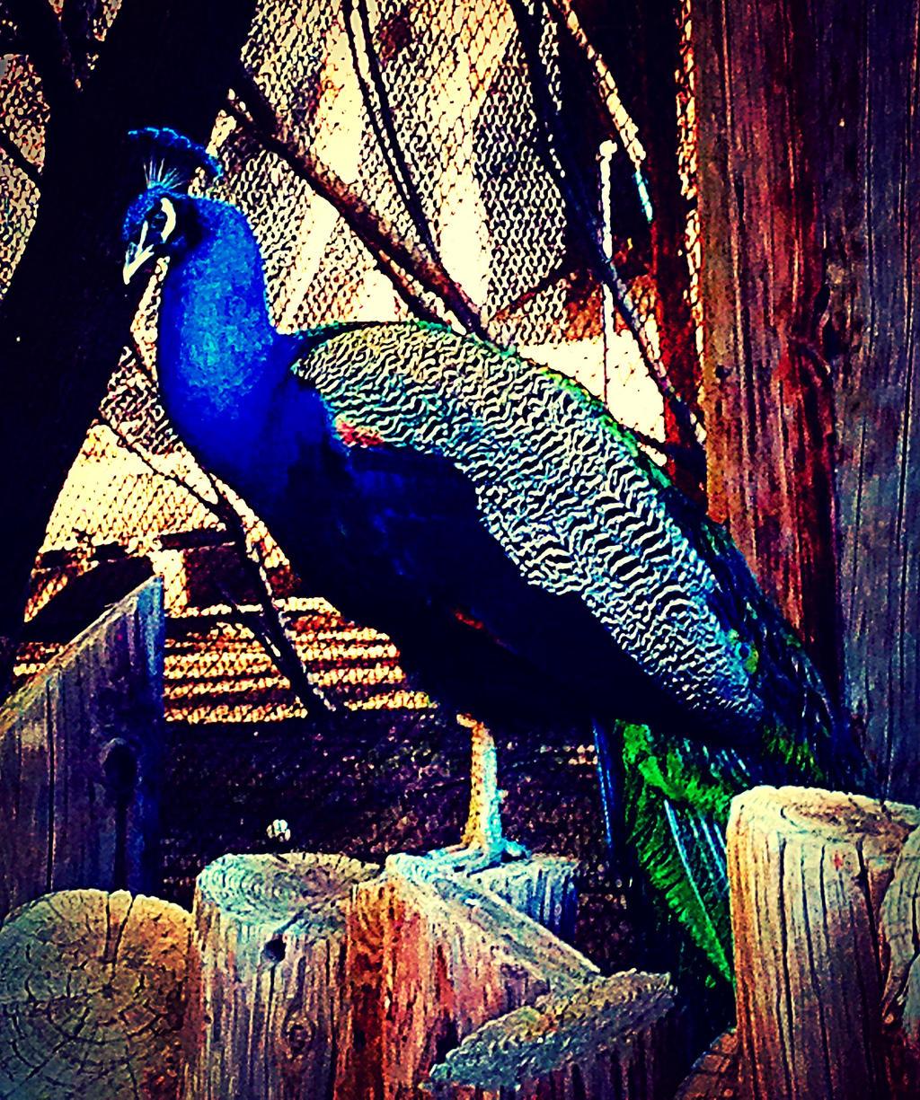 Peacock by xXXxNightShadexXXx