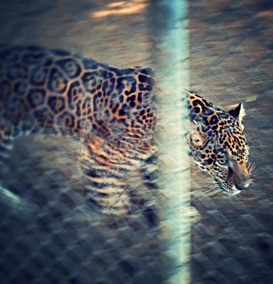 Jaguar by xXXxNightShadexXXx