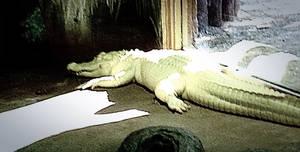 Albino Alligator by xXXxNightShadexXXx