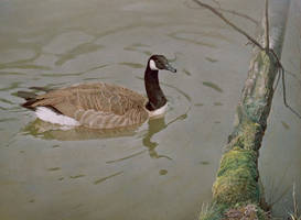 Canadian goose by wimke