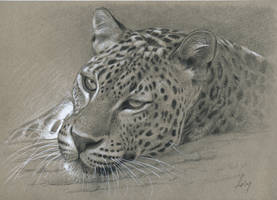 leopard : Pencil and gouache on grey paper by wimke