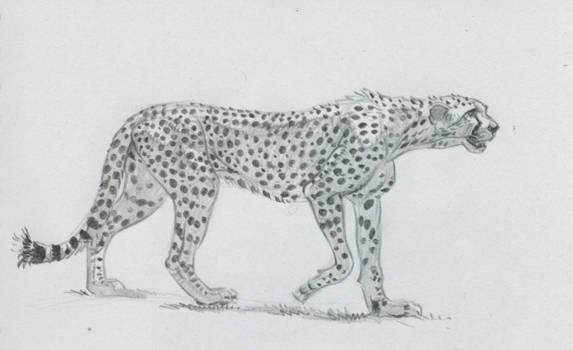Cheetah sketch 2